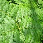 """Ferns @ Pelister National Park <a style=""""margin-left:10px; font-size:0.8em;"""" href=""""http://www.flickr.com/photos/14315427@N00/14692069758/"""" target=""""_blank"""">@flickr</a>"""