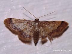 Geometer Moth - Family Geometridae - NMW 19 July 2014-037 (Dis da fi we) Tags: belize jungle moth nationalmothweek puntagorda toledo wildlife nationalmoth mothing cottages hickatee