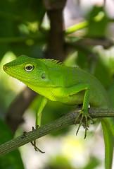 Green (Akmal Luthfi M) Tags: macro green nature animal indonesia nikon reptile iguana photoshot lizards macroshot macrophotography natgeo hewan d7100 kadal