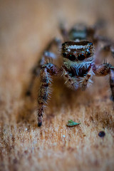 Salticidae-2 (Kenneth_W_Martin) Tags: macro spider small tiny predator jumpingspider efs60mmf28 tanjumpingspider canont1i