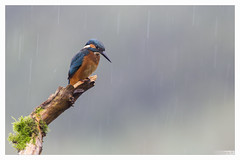 Martin pêcheur sous la pluie (Alcedo atthis) Kingfisher (Denis.R) Tags: france canon pluie 300mm kingfisher lorraine moselle alcedoatthis martinpêcheur denisr 5dmarkiii denisrebadj