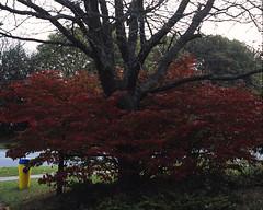 Burning Bush (pmvarsa) Tags: autumn red ontario canada 120 mamiya film leaves mediumformat waterloo mf burningbush rb67 127mm 2013 waterlooregion cans2s