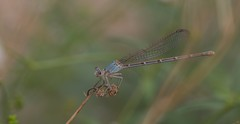 Almost As Light As Air (harefoot1066) Tags: odonata zygoptera coenagrionidae powdereddancer argiamoesta ponddamselfly ponddamsel