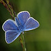 03 Common Blue Butterfly_Colin Grant