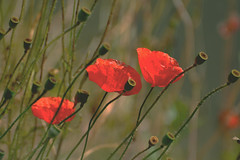 Poppies (bbic) Tags: flowers red poppies mazi