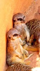Suricatas Descansando (copito_m) Tags: naturaleza color nature animal nikon animales mywinners abigfave aplusphoto