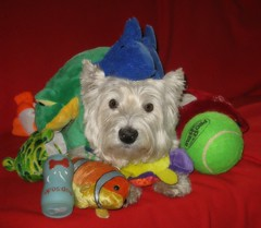 """8/12A ~ """"Colorful Riley"""" (ellenc995) Tags: riley colorful westie theme westhighlandwhiteterrier ruby3 coth supershot akob anawesomeshot citrit pet500 pet100 rubyphotographer 100commentgroup challengeclub coth5 ruby10 thesunshinegroup sunrays5 challengeclubchampion 12monthsfordogs14"""