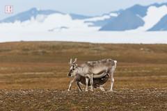 No Milk Today (Rhapsody-In-Blue) Tags: animal norway reindeer wildlife svalbard arctic spitsbergen arcticwildlife renne antler animalportrait spitzberg spitsberg rangifertarandus animalbehavior rangifertarandusplatyrhynchus svalbardreindeer rennedusvalbard