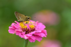 Skipper and Zinnia (myu-myu) Tags: nature japan butterfly insect nikon skipper zinnia d800     parnaraguttata  afsvrmicronikkor105mmf28g