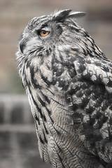 Zulu the Eagle owl (6) (R.J.Boyd) Tags: b wild bird animal animals fly flying wings wildlife flight feathers feather raptor owl prey hoot raptors owls eagleowl cuerdon