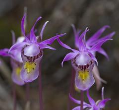 Calypso bulbosa variety americana (ab_orchid) Tags: orchid native alberta calypso potw bulbosa