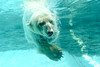 polar bear (floridapfe) Tags: bear water animal zoo korea polarbear polar splash creature everland