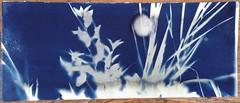 IMG_6115 (kycamlewis) Tags: blue plants sunlight paper uv cyan photostream printout longexposures cyanotypes contactprinting