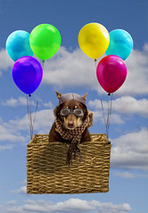 Up Up and away (aussiegall) Tags: sky dog up clouds balloons ally basket air soar hover kelpie