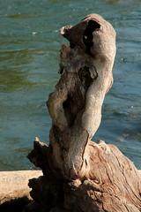 Holz am Ufer des Rhein ( Hochrhein - Fluss - River ) unterhalb vom R.heinfall im Kanton Schaffhausen und Zrich in der Schweiz (chrchr_75) Tags: chriguhurnibluemailch christoph hurni schweiz suisse switzerland svizzera suissa swiss chrchr chrchr75 chrigu chriguhurni 1409 september 2014 hurni140916 september2014 rhein rhin reno rijn rhenus rhine rin strom europa albumrhein fluss river joki rivire fiume  rivier rzeka rio flod ro