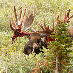 A bull moose displays its bloody antlers thumbnail