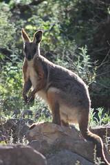 Flinders Range - Yellow tailed Rock Wallaby (www.JnyAroundTheWorld.com - Pictures & Travels) Tags: australia australie southaustralia australiedusud outback flinders flindersrange nationalpark nature wilderness wallaby yellowtailedrockwallaby jny canon jnyaroundtheworld jenniferlavoura