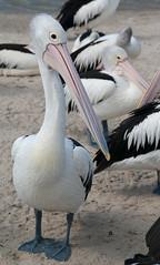 Standing Out (Jocey K) Tags: pelicans birds sand labrador australia queensland goldcoast