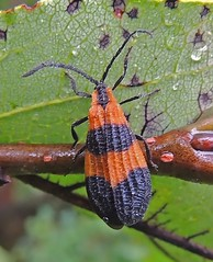 Red & Black Net-winged Beetle (Odonata457) Tags: beetle calopteronreticulatum lycidae netwinged