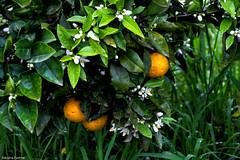 af1408_0586 (Adriana Fchter) Tags: life food orange flower macro verde green art nature object natureza comida laranja flor fruta alimento objeto laranjas verdura adrianafuchter adrianafchter