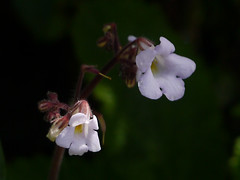 Henckelia meeboldii (W.W.Sm. & Ramaswami) A.Weber & B.L.Burtt (dinesh_valke) Tags: annual gesneriaceae endemic herb lithophytic gloxiniafamily henckeliameeboldii didymocarpusmeeboldii meeboldsstoneflower