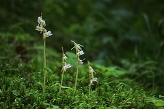 Epipogium aphyllum/Epipogon sans feuilles/Orchidaces (luka116) Tags: fleur suisse valais 2014 epipogiumaphyllum orchidaces