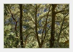 - DSC_0589 (Ferruccio Jochler) Tags: wood environment nature atmosphere shinig holmoak