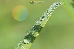 Rugiada (angeloscarponi) Tags: macro rugiada esterno sole freddo nikon 150mm nikonphotography natura