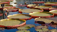 Giant Lily Pads (Anne Marie Clarke) Tags: waterlilies lilypads giant pond greenhouse enidahaupt conservatory newyorkbotanicalgarden bronx