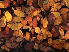 1 in Deep Autumn (Mertonian) Tags: leaves leaf deep decomposing mertonian lunchwalk lookingdown yellows browns dark light robertcowlishaw wonder awe ineffable beauty canonpowershotg7xmarkii canon powershot g7x mark ii fall autumn