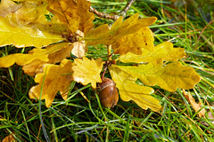 from little acorns (scottprice16) Tags: england ribblevalley clitheroe autumn oak leaves nature acorn fallen october colour canong1xmark2