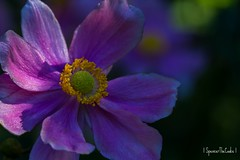 The color purple (SpencerTheCookePhotography) Tags: flower bloom nature outdoors macro canon brooklynbotanicalgarden nyc pollen purple