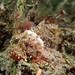 Red scorpionfish juvenile - Scorpaena jacksoniensis