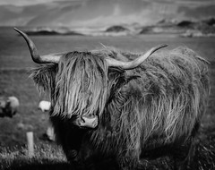 Short, Back & Sides please. (Ian Emerson) Tags: cattle cow coo horns hair highland outdoor field mountains wild animal blackwhite canon omot