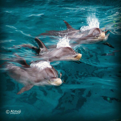 Three young #Atlantic spotted #dolphins take a breath at the same moment. Perfect #synchronicity - #wildandfree #wilddolphins #wildquest #photooftheday @atmoji