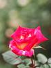 Rose, Colorama, バラ, コロラマ, (T.Kiya) Tags: rose colorama バラ コロラマ jindaibotanicalgardens 神代植物公園