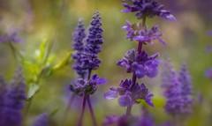 Confetti (jenni 101) Tags: stitchedmacropano flowers hss bokeh macro postprocess pretty purple vibrant