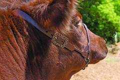 900711_a (Sharp Show Supply) Tags: show halter brown aztec 900711 900710