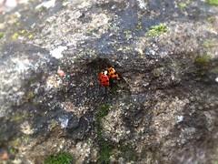 Stone love (martyna66637) Tags: natura przyroda matka flora polska skała głaz brąz czerwony biedronka mother nature leaf poland brown red moss green ladybug forest branches rock stone iphone apple love