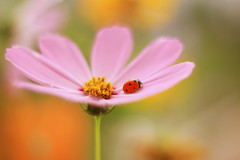 Сosmos (ElenAndreeva) Tags: flowers forest spring color nature flower sun light summer bokeh cute colors 500px insect canon garden soft dream colorful sweet focus bug ledybug macro сosmos