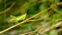 konik polny / grasshopper (asbb) Tags: makro konikpolny pasikonik robak robaki owad owady zielony green trawa grass orthoptera grasshopper tettigoniidae insect insecto saltamontes chapulín macro beskidy verde