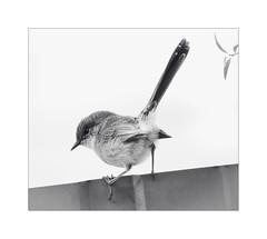 split second (Phil Jackson 1947) Tags: wren bird highkey