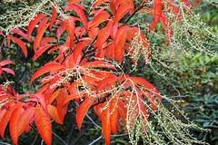 Wunderschnes Wochenende! (ingrid eulenfan) Tags: herbst autumn strauch baum tree laub bltter herbstfarben sauerbaum sourwood