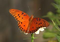 Gulf Fritillary (Agraulis vanillae) (AllHarts) Tags: gulffritillaryagraulisvanillae backyardbutterflies memphistn naturescarousel ngc npc challengeclubchampions