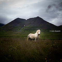 Being Icelandic in the North, Iceland (monsieur I) Tags: animal europe horse iceland icelandic icelandicculture icelandichorse monsieuri roadtrip summer travel