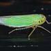 Cicadella viridis 161026 005.jpg