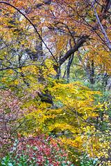 Color in the Park (wyojones) Tags: newyork newyorkcity nyc manhattan centralpark fall autumn leaves color trees november