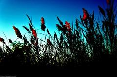 Les derniers Rayons... (sabinelacombe) Tags: berreletang etang roseaux provence paca bouchesdurhone herbes crepuscule mistral