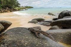 Asian Water Monitor - Varanus salvator (shanicy) Tags: lizard thailand herping thailandherping nature beach wideanglemacro