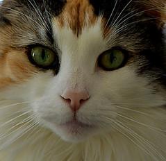 Cat portrait (Norvgien)_7258C (ichauvel) Tags: chatnorvgien cat norvegian norway portrait yeux regard eyes greeneyes yeuxverts pelage expression cadrageserr formatcarr france europe westerneurope inside intrieur